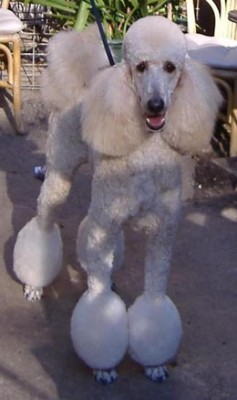 groomed_poodle-237x400