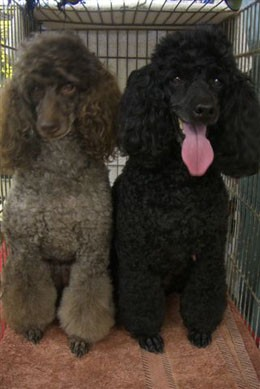 poodle_brothers